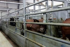 Paimion teurastamo - Oikeutta Eläimille