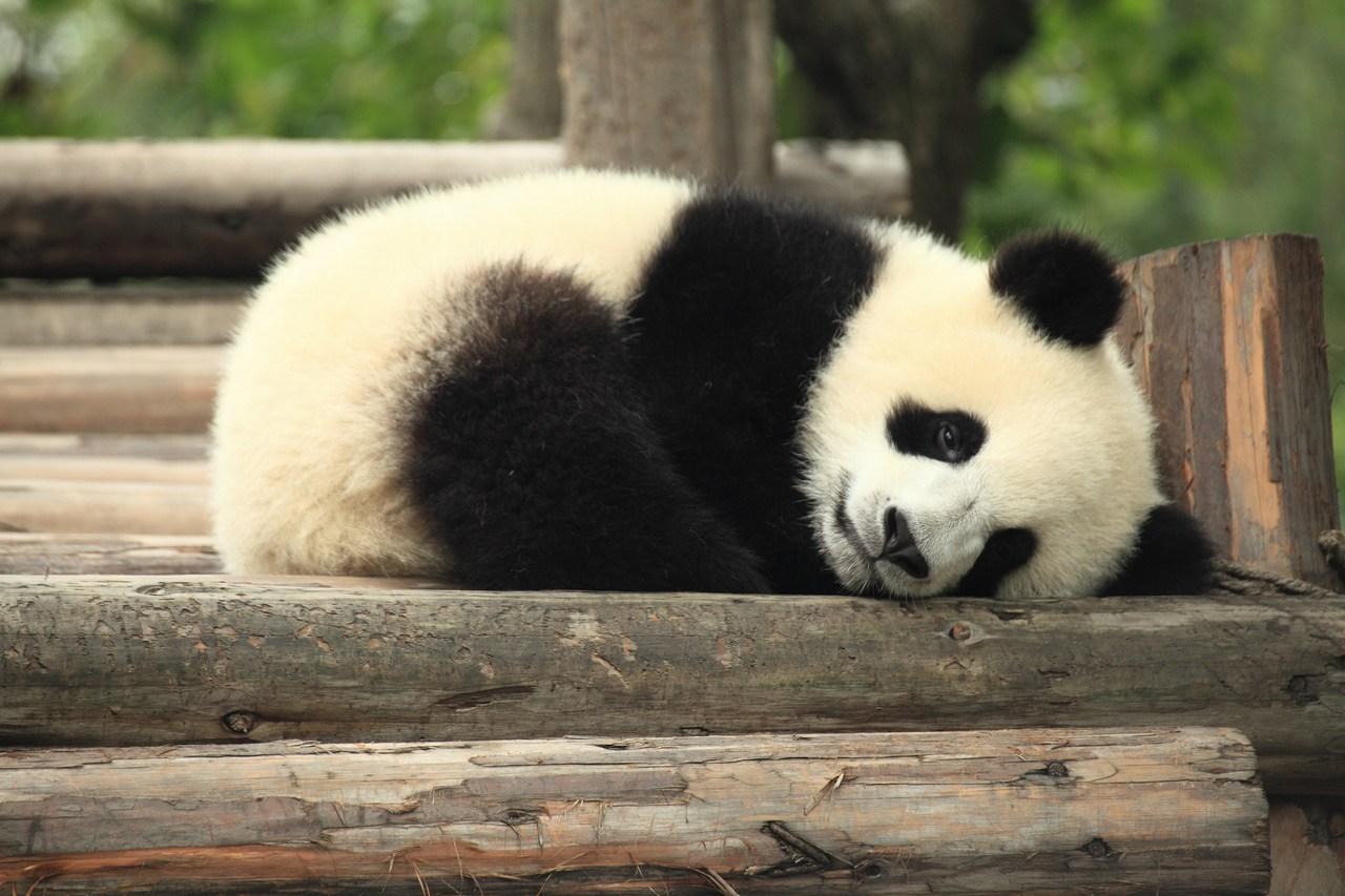 Panda in China. Picture: George Lu