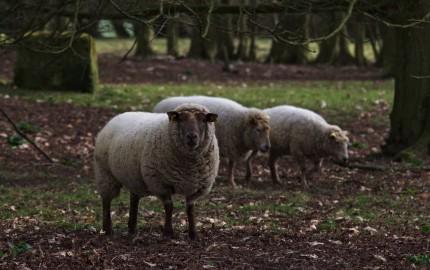 ft-sheep