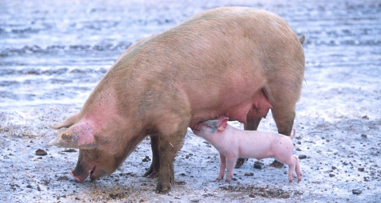 ft-sow-and-piglet