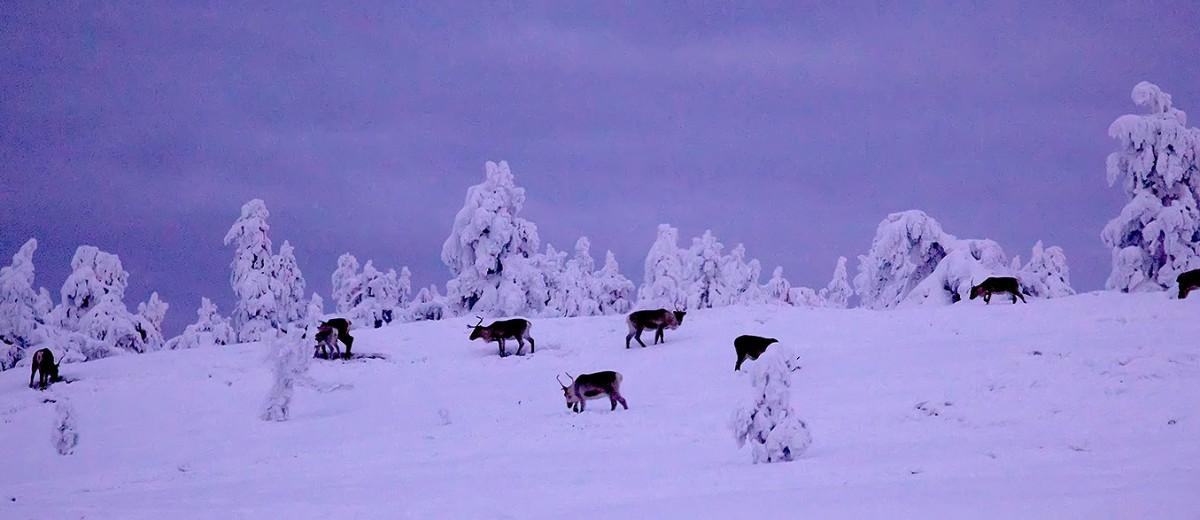 ft-reindeer-background