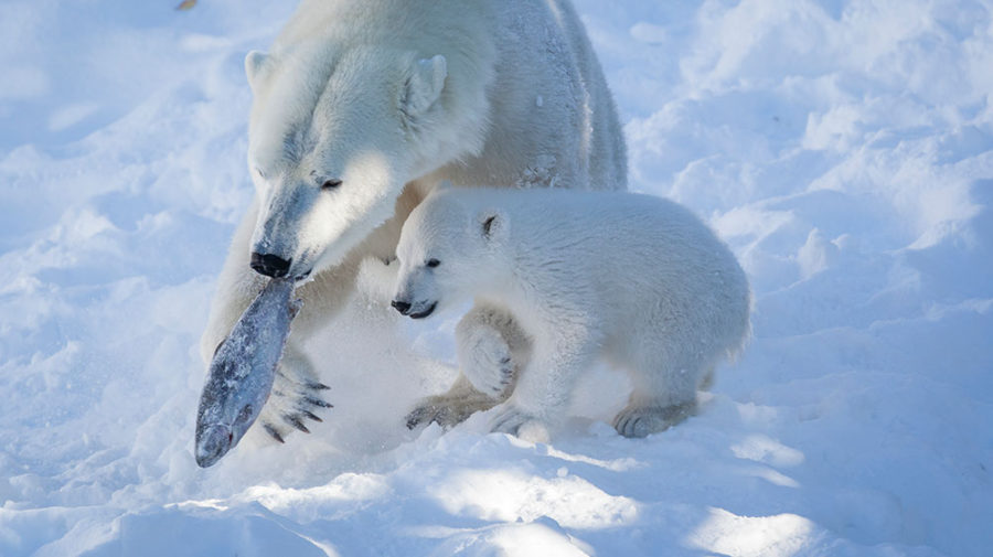 The Polar Bear Cub in Ranua Zoo Is Looking for a Name