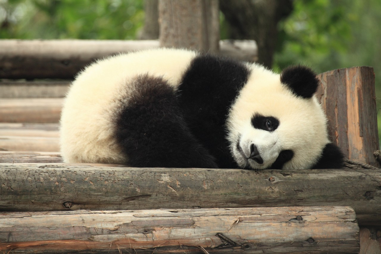 Giant Pandas Potentially Arriving in Finland but Animal Welfare Associations are Against It