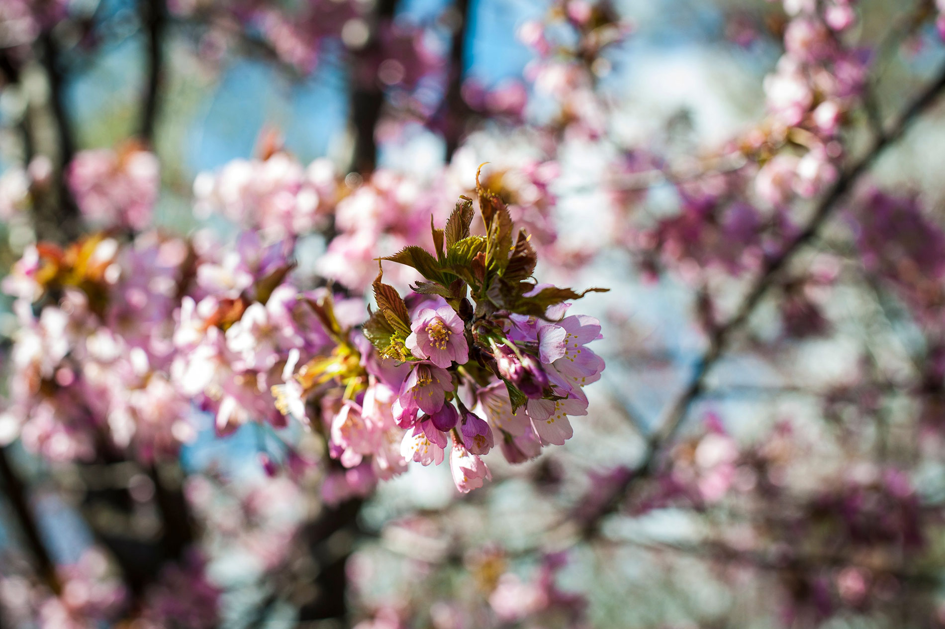 Japan Honors the Centenary of Finland's Independence With Precious Cherry Trees