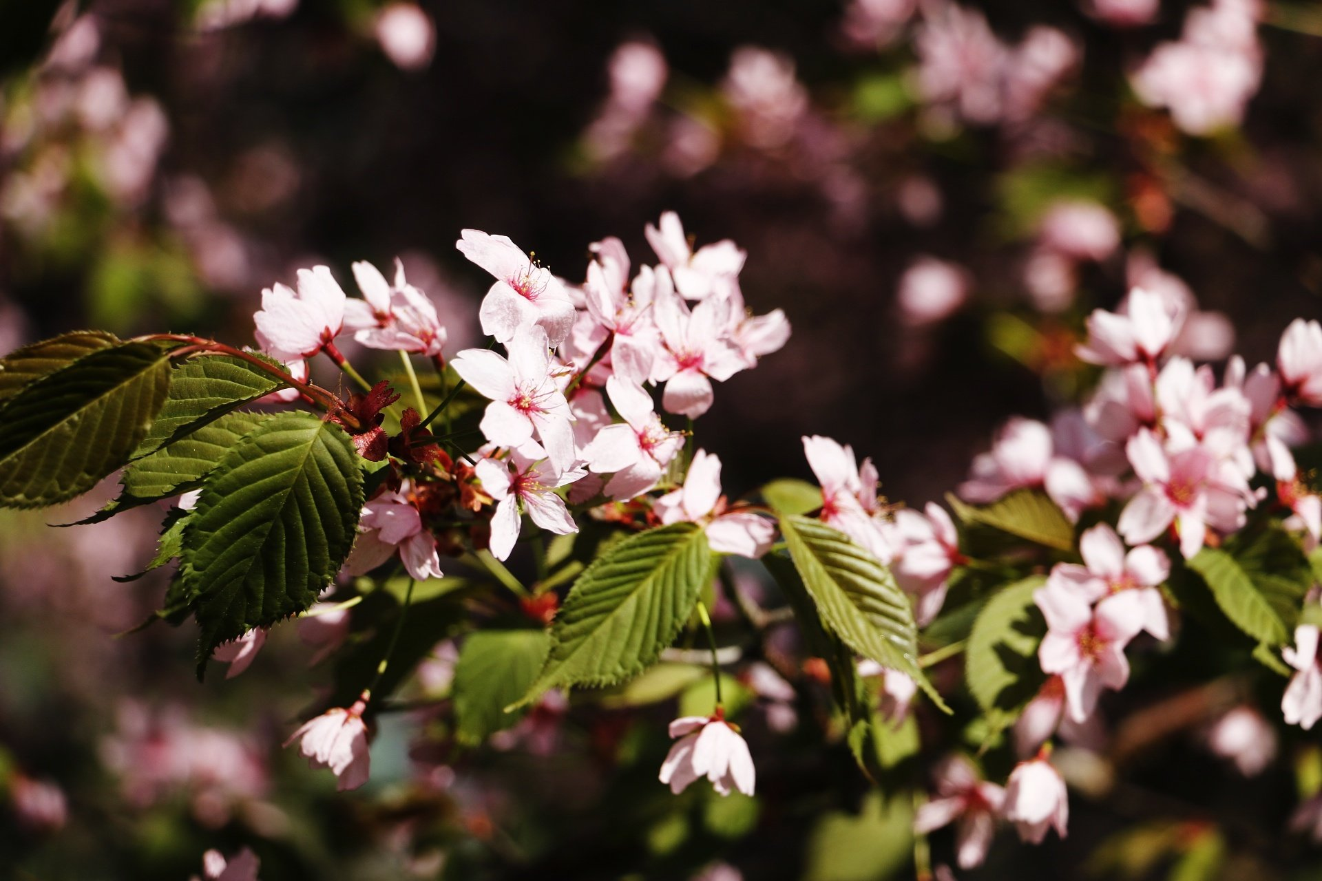 The Japanese Cherry Trees in Roihuvuori Are in Full Bloom – View The Beautiful Pictures