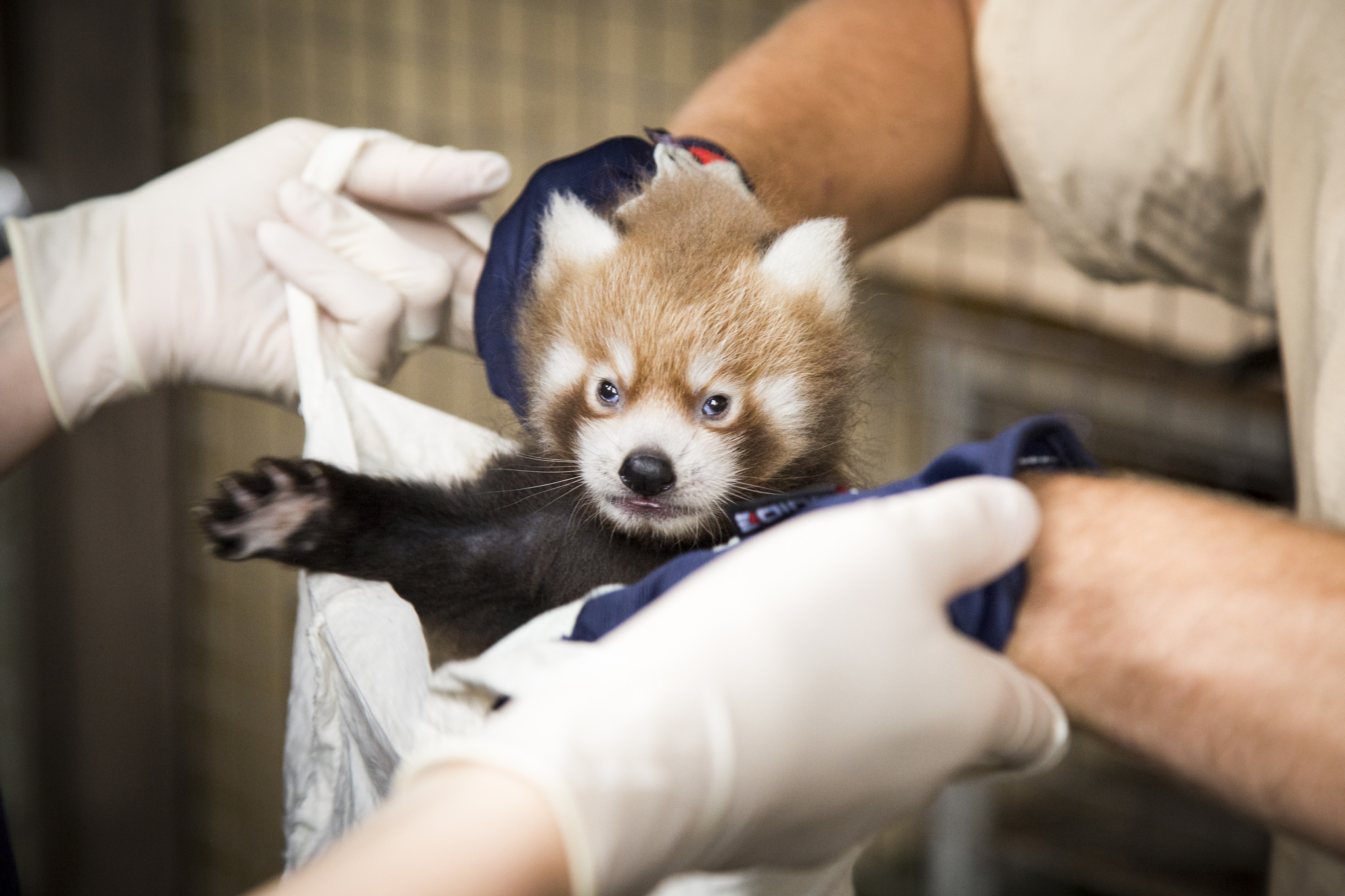 Image of: Ailurus Fulgens Endangered Red Panda Couple Got Their First Cub At The Helsinki Zoo Finland Today Endangered Red Panda Couple Got Their First Cub At The Helsinki Zoo