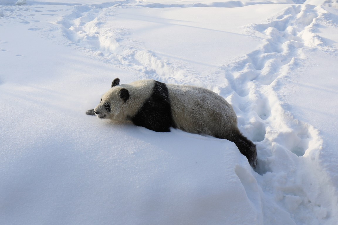The Giant Panda Couple Frolic in the Snow for the First Time in Ähtäri Zoo – Watch the Video and Pictures