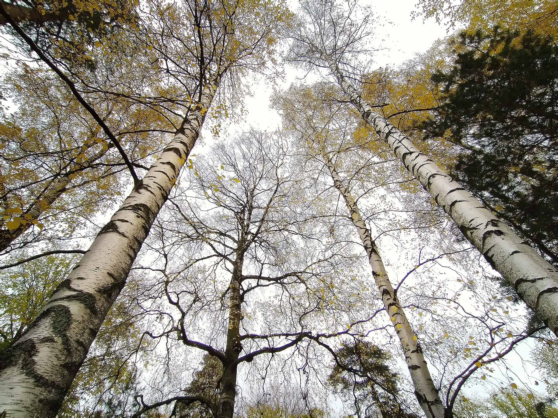 According to an old Finnish story, the birch can be your guide when you are lost. In the modern times it can be drank like coconut water. Photograph: Tony Öhberg/Finland Today