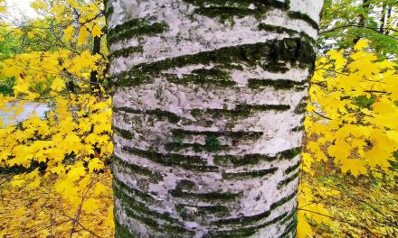 When You Are Lost the Birch Can Guide You Home; The Magical Tree Can Also Relax You in Sauna