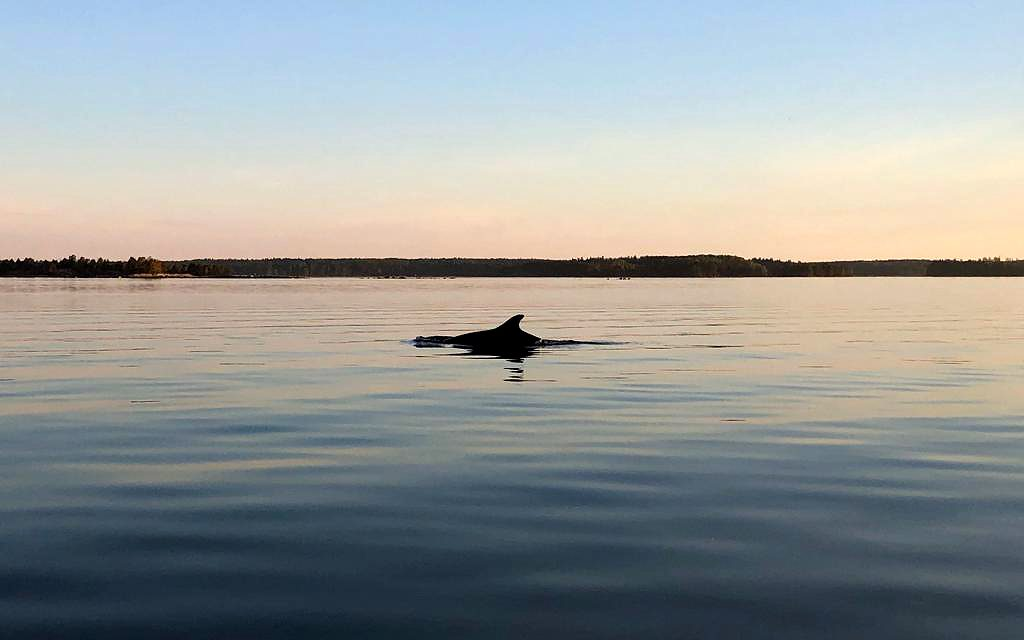 Dolphins Play at Pernajanlahti in the Gulf of Finland; 'It Was a Surreal Experience'
