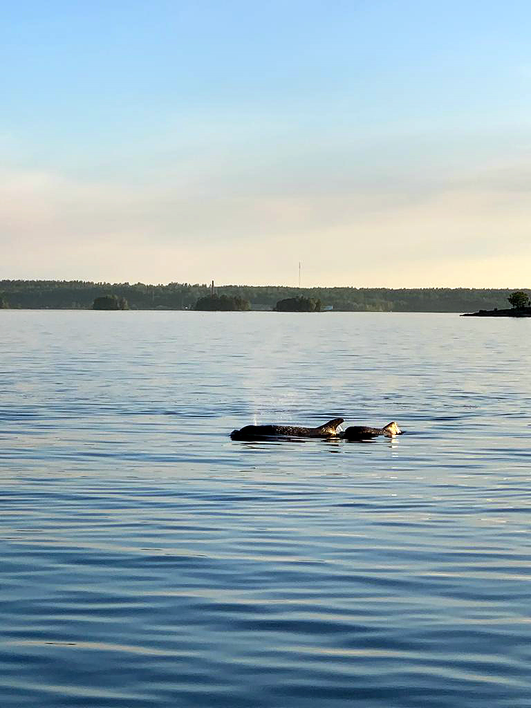A rare sight of a dolphin at Pernajanlahti in Loviisa, southern Finland, on Wednesday, June 10, 2020. Picture: Oliver Michelsson