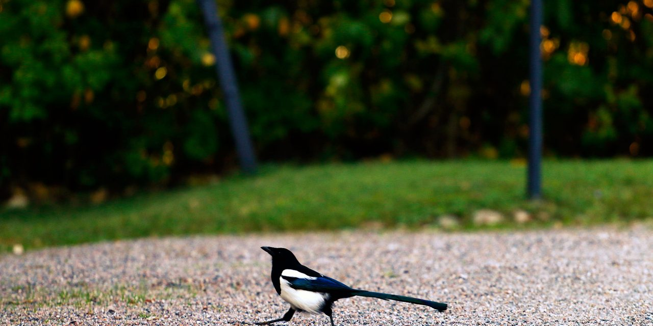 How Magpies Became My Silent Companion When I Lived in Finland