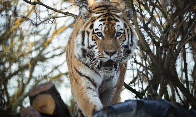 Staff of Korkeasaari Zoo to Keep Two-Meter Distance to Tigers, Which Could Contract Coronavirus